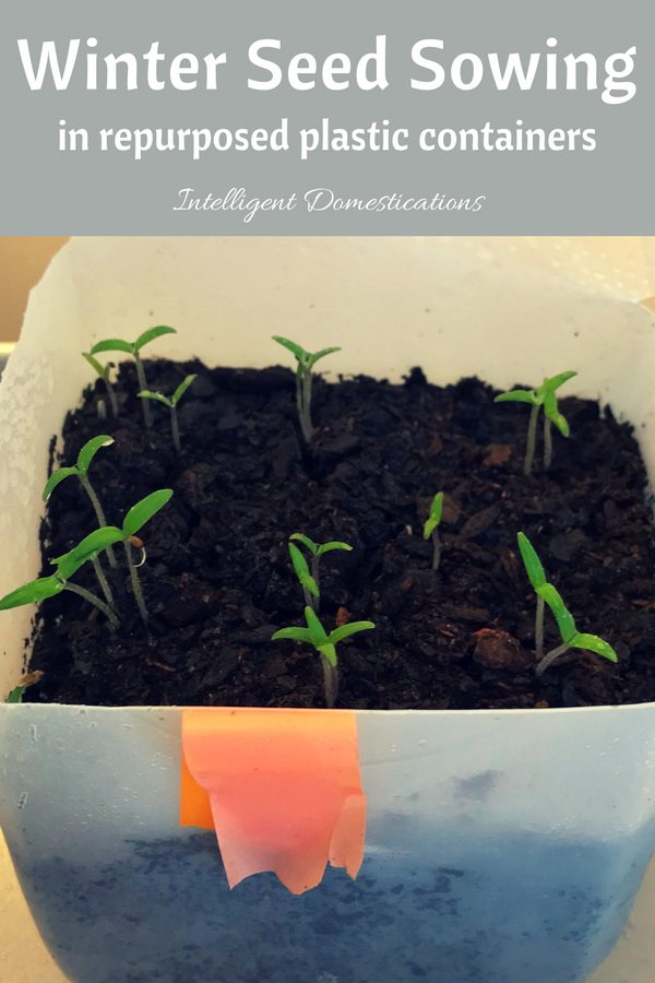 Winter Seed Sowing in repurposed plastic containers. How to sow seeds in milk jugs. How to start seeds in milk jugs and two liter bottles. #repurpose #seedsowing