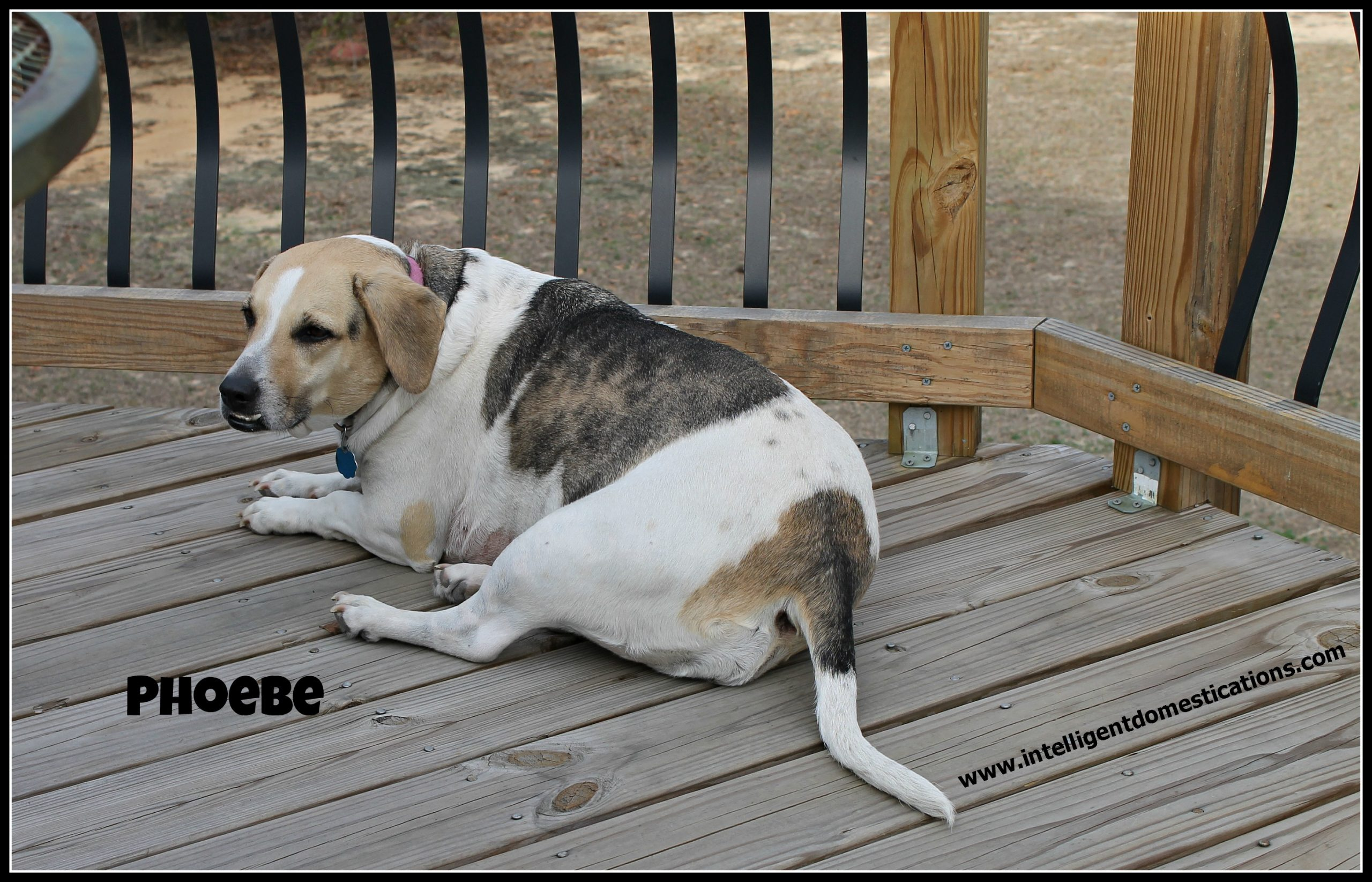 Canine Cancer: Phoebe's Story Part II