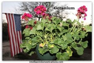 Geranium hanging basket.intelligentdomestications.com