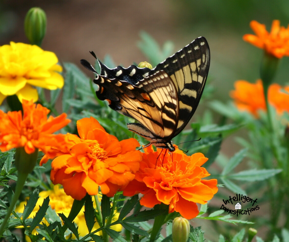 Butterflies are attracted to Marigolds