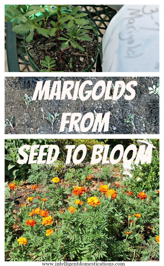 Marigolds from Seed To Bloom