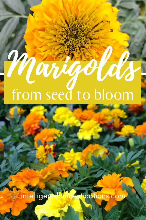 Marigold seeds being planted in milk jugs so the seedlings can be transplanted into the ground in the spring. Step by step process of growing Marigold flowers from planting the seed to transplanting into the ground and seeing the beautiful blooming flowers in the summer. #flowerbed #marigoldflowers #intellid