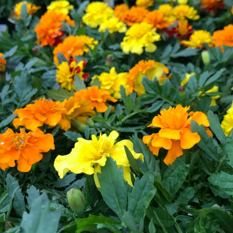 Orange and Yellow Marigolds blooming