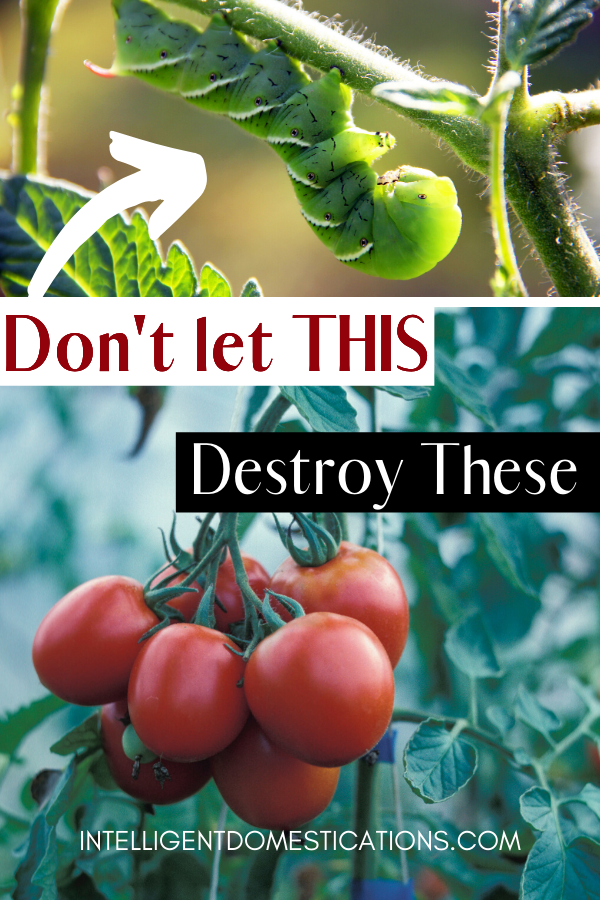 Tomato Hornworm Signs, Treatment and Prevention. How to rid your tomato plants of the green tomato worm pest #tomatoplants #organicrepellent