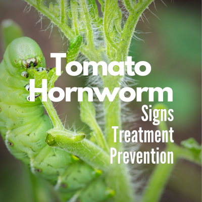 Signs, Treatment & Prevention of The Tomato Hornworm