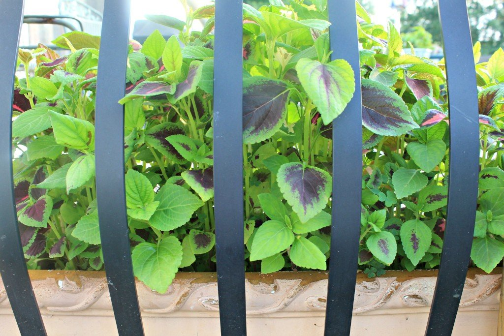 Coleus packed tight for effect in container on deck peeking through the railings.www.intelligentdomestications.com