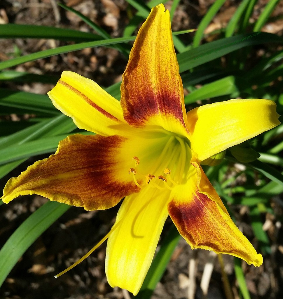 Daylily in my flower bed Spring 2015.www.intelligentdomestications.com
