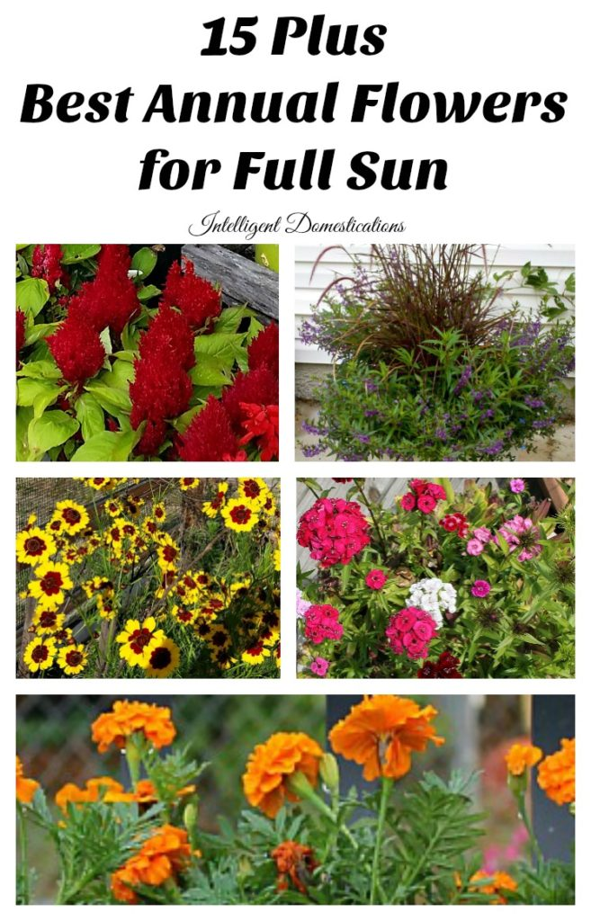 Best Annual Flowers for full sun. Best selection of annual flowers to plant in a sunny yard. Annual flowers you should plant on your sunny deck or porch.