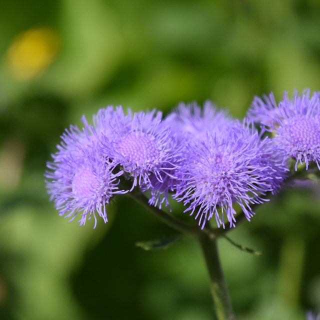 Ageratum. Best Annual Flowers for full sun to plant in your front yard