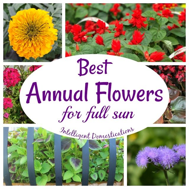 15 Best Annual Flowers For Full Sun Intelligent Domestications