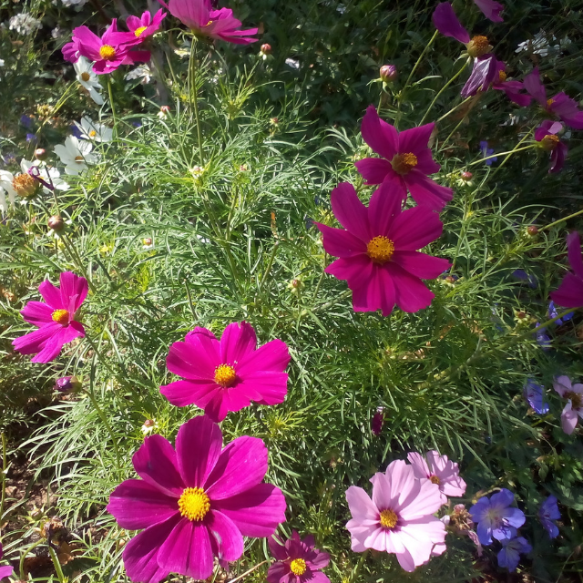 Cosmos flowers. Best Annual Flowers for full sun to plant in your front yard