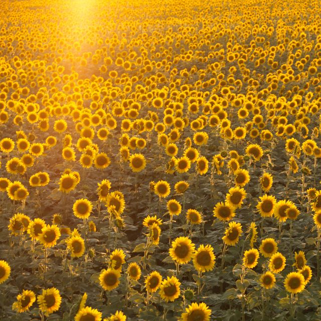 Sunflower field. Best Annual Flowers for full sun to plant in your front yard