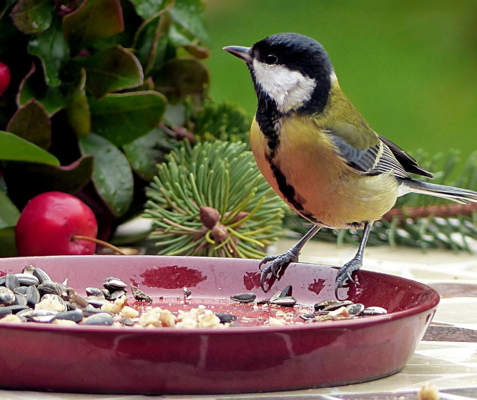 A wild Bird eating from a red ceramic dish on a patio